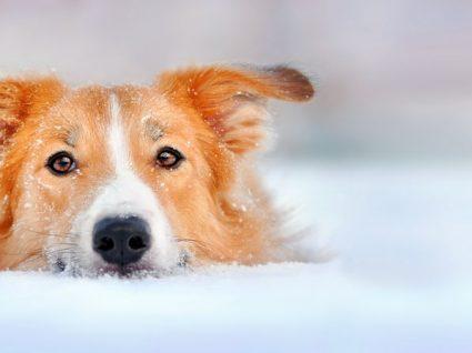 Raças de cães mais calmas: conheça alguns exemplos