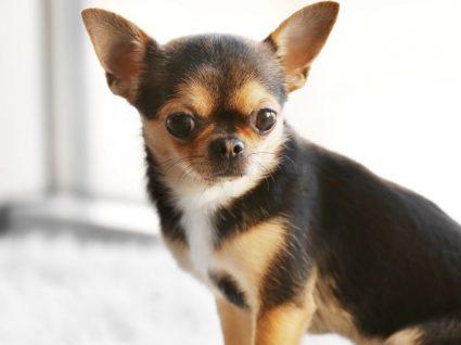 Chihuahua: tudo o que precisa de saber sobre esta raça