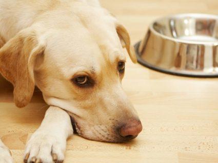 Cão sempre com fome: descubra qual pode ser a causa