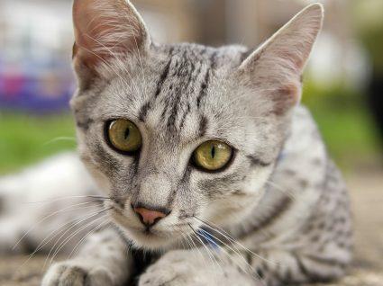 Gatos de pelo curto: as raças comuns e cuidados a ter