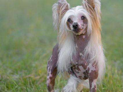 Cão de Crista Chinês: tudo o que precisa de saber sobre esta raça