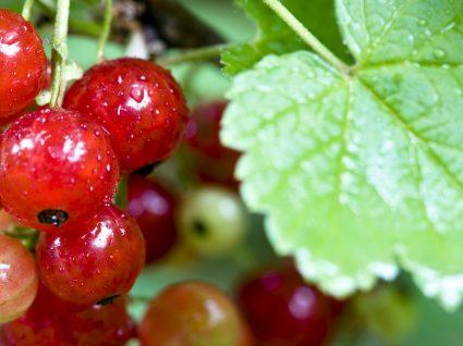 Groselha: pequena fruta grandes benefícios