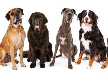 Raças de Cães Grandes: tudo o que precisa de saber sobre cães deste porte