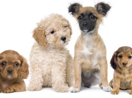 Cães Pequenos: tudo o que precisa de saber sobre cães deste porte