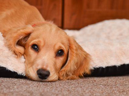 Saiba como habituar o cão a dormir sozinho