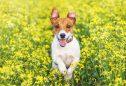 Jack Russel Terrier: tudo o que precisa de saber sobre esta raça