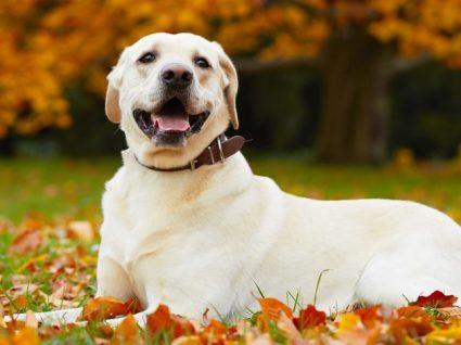 Labrador Retriever: tudo o que precisa de saber sobre esta raça