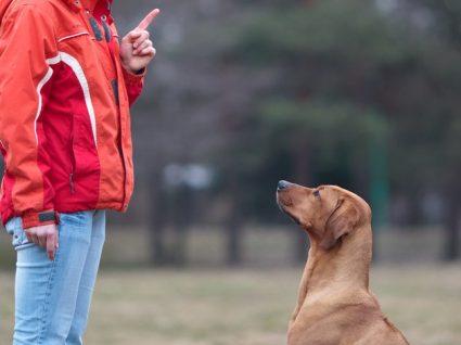 Como ensinar o cão a sentar e a deitar?