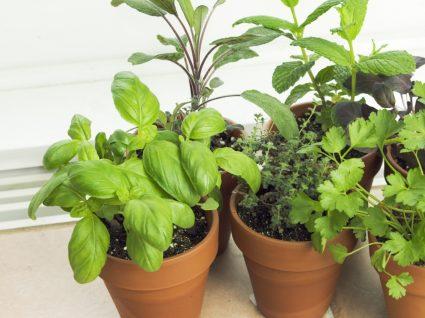 Como plantar ervas aromáticas em casa?