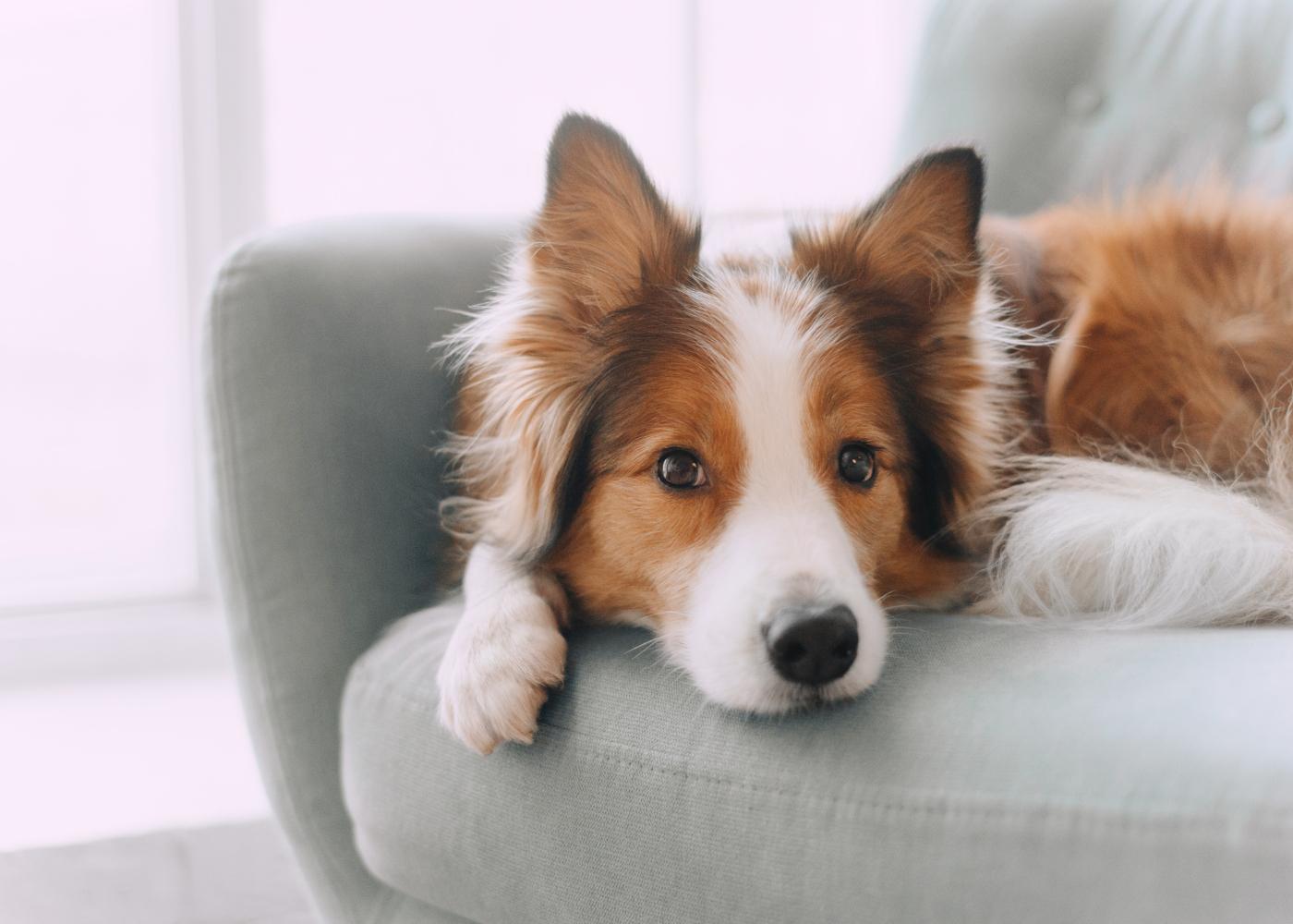 programar e planear a reproducao da cadela