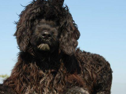 Cão de Água Português: tudo o que precisa de saber sobre esta raça
