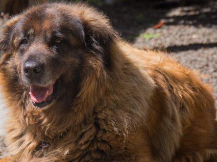 Cão da Serra da Estrela: tudo o que precisa de saber sobre esta raça