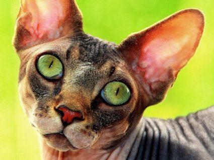 Gatos sem pelo: quais as raças comuns e cuidados a ter