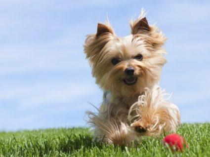 Yorkshire Terrier: tudo o que precisa de saber sobre esta raça