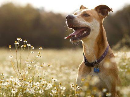 Como entender a linguagem corporal do seu cão
