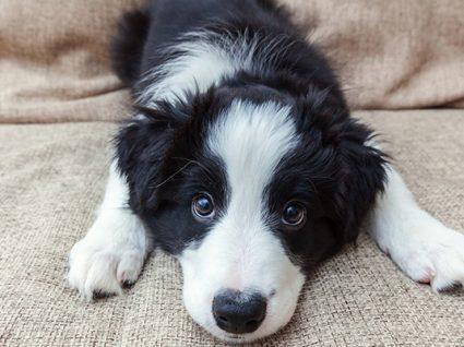 4 patologias congénitas cardíacas em cães