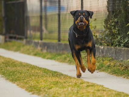 A agressividade nos cães tem relação com as raças?