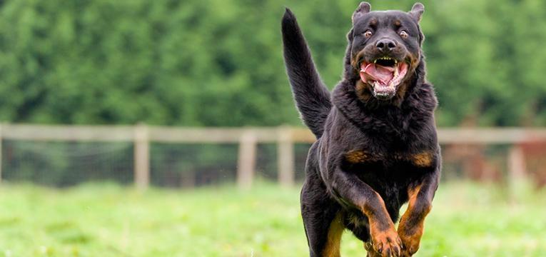 agressividade nos cães