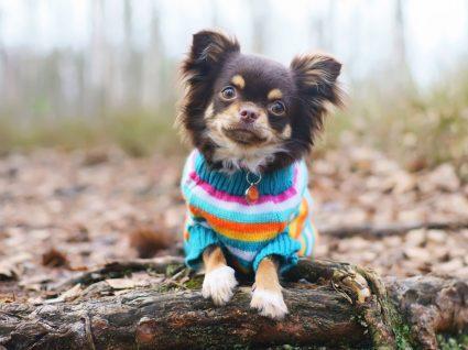 Os cães precisam de usar roupa no inverno? Sim ou não?