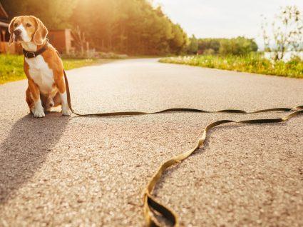 O que fazer se o seu cão estiver perdido?
