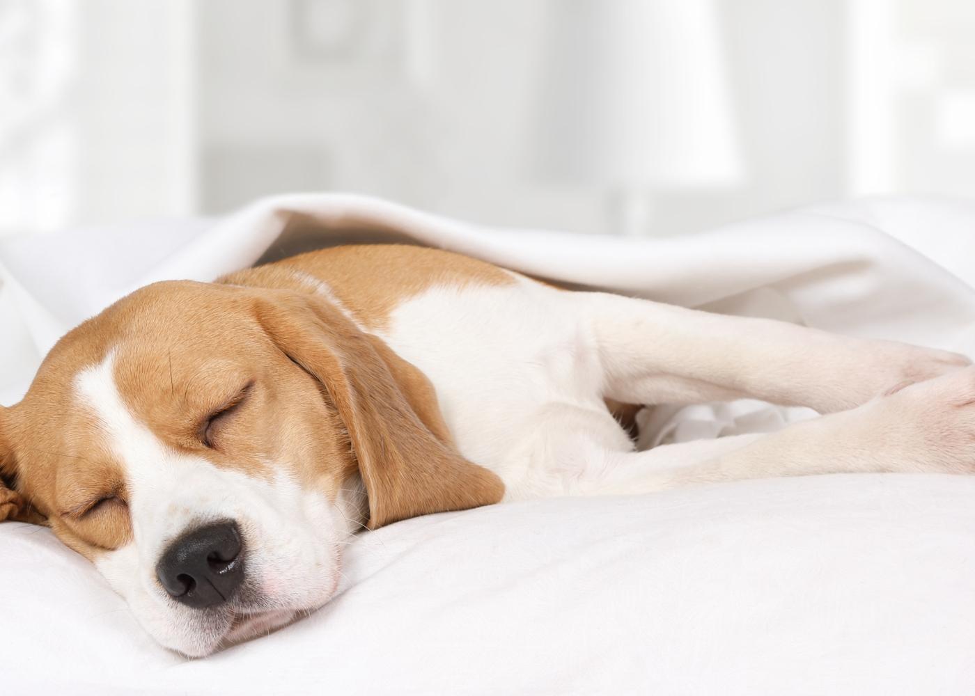 Como saber se o cão tem febre? Conheça 7 sintomas
