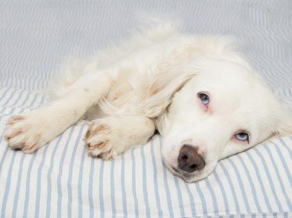 Cão doente deitado no sofá
