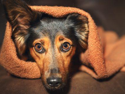 10 sinais de perda de audição nos cães