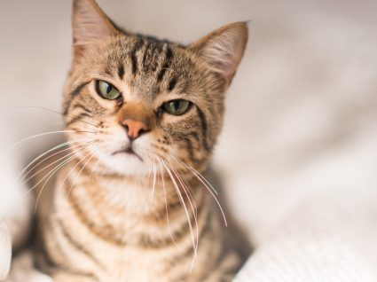 Ensinar o gato: procedimentos