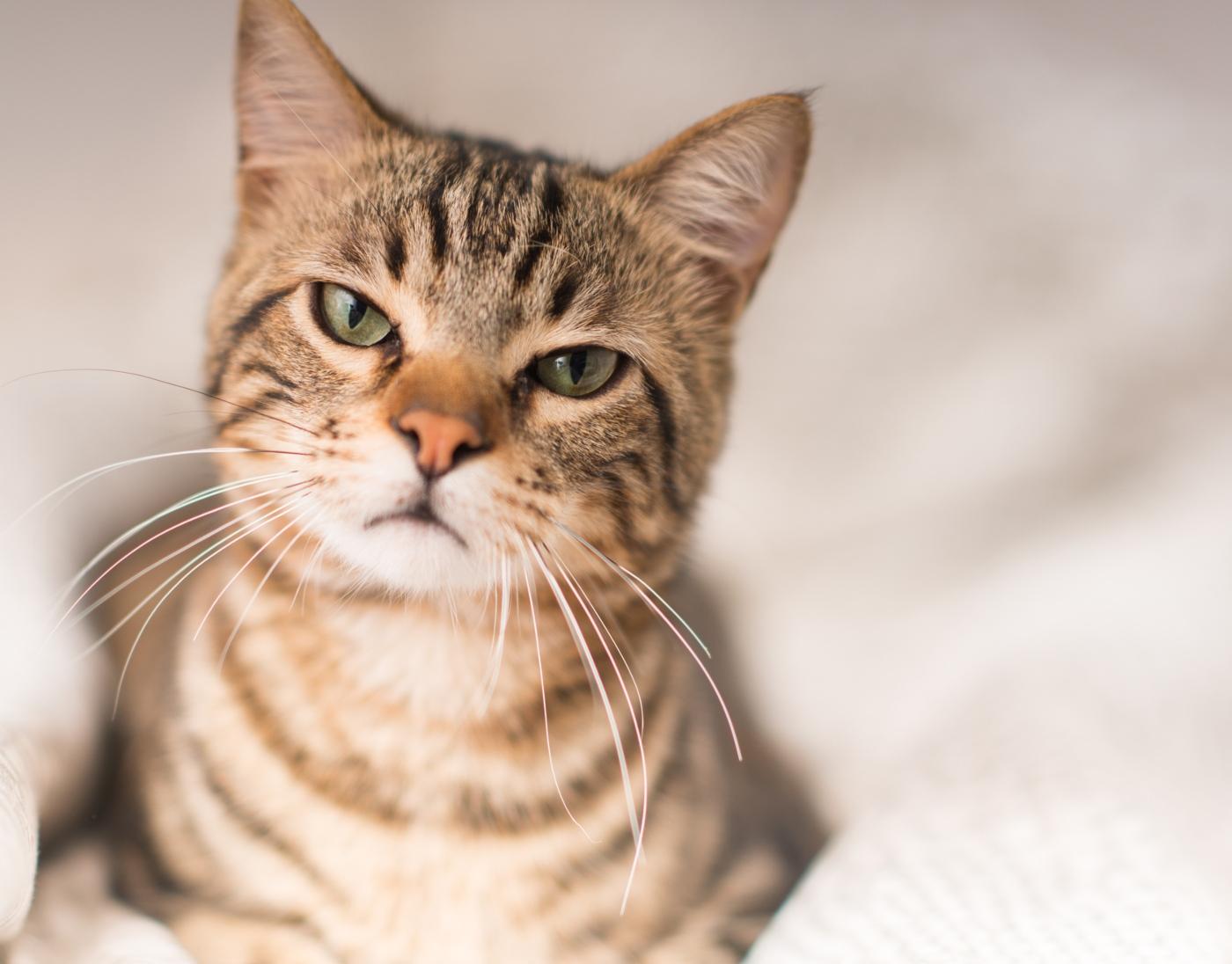 19 Sinais de stress nos gatos: reconheça-os