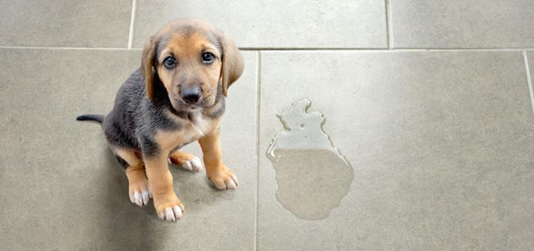 educar um cão nos primeiros meses: fazer as necessidades no local certo