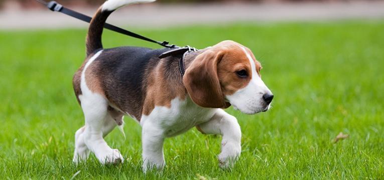 educar um cão nos primeiros meses: andar à trela