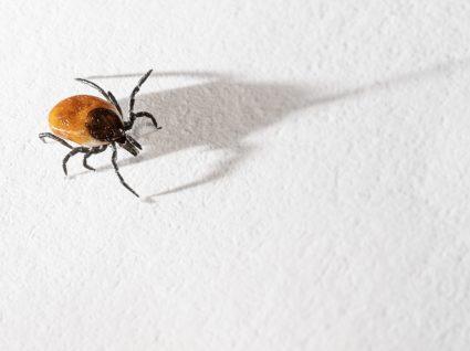Doença de Lyme: doença provocada pela carraça