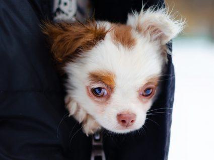 Hipotermia no cão: cachorro a aquecer-se no casaco do tutor