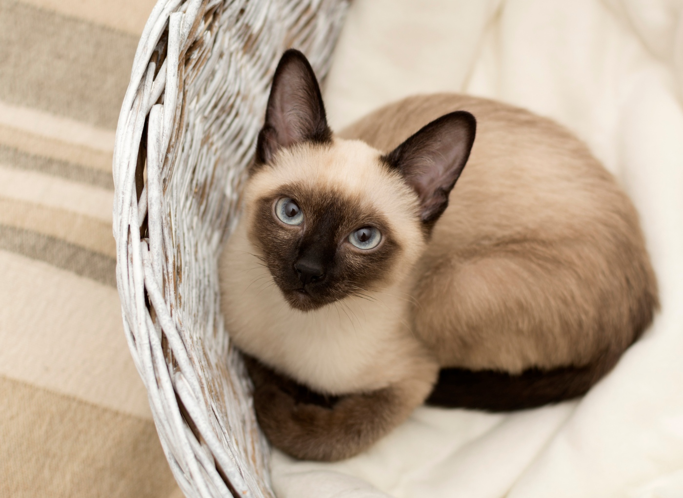 Raças de gatos hipoalergénicas: siamês