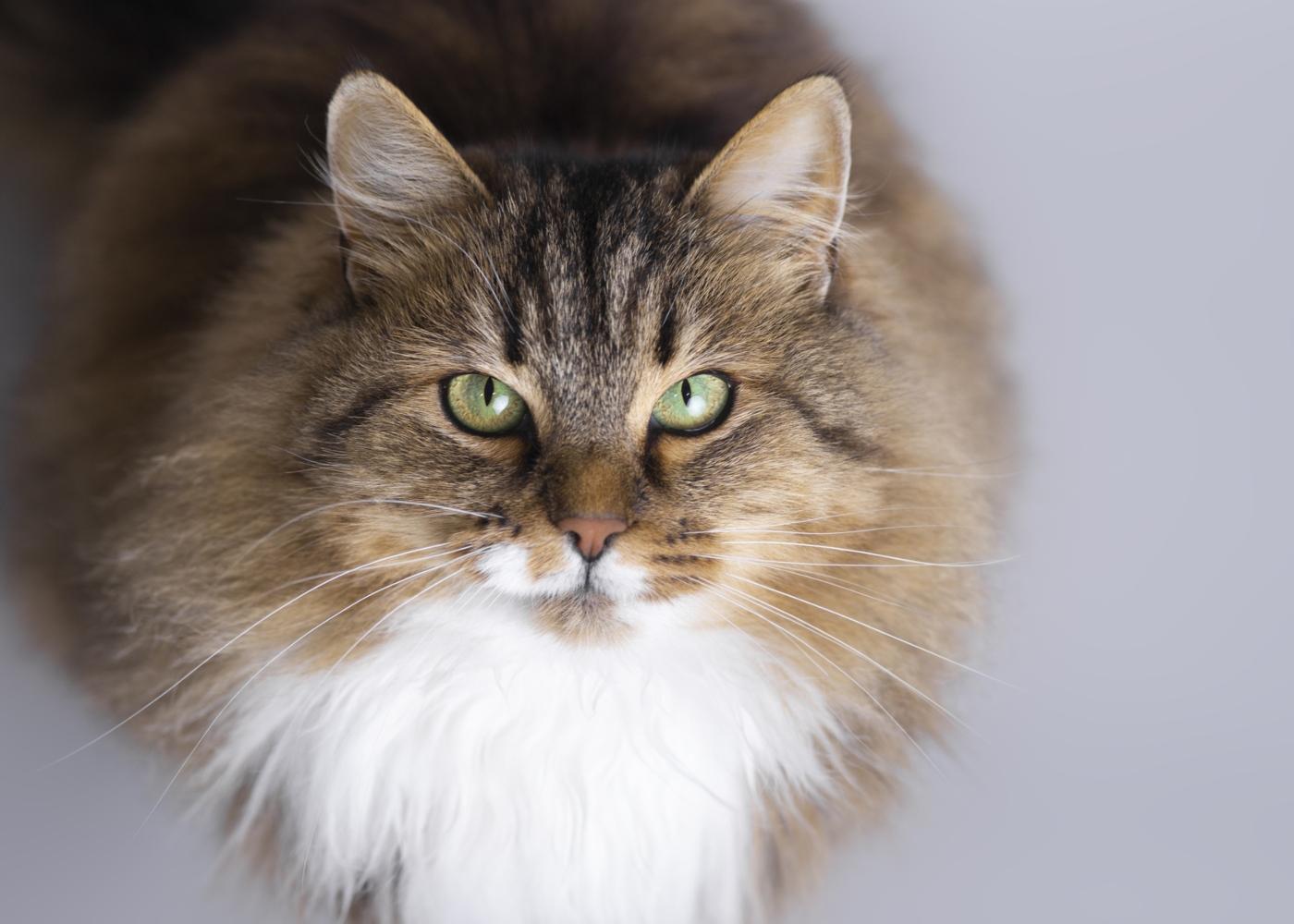 Raças de gatos hipoalergénicas: siberiano