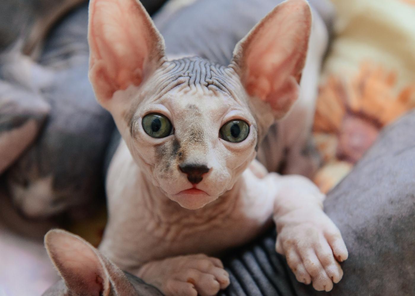 Raças de gatos hipoalergénicas: Sphynx