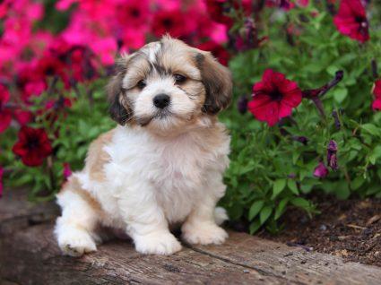 Raças de cães hipoalergénicas: Shih Tzu
