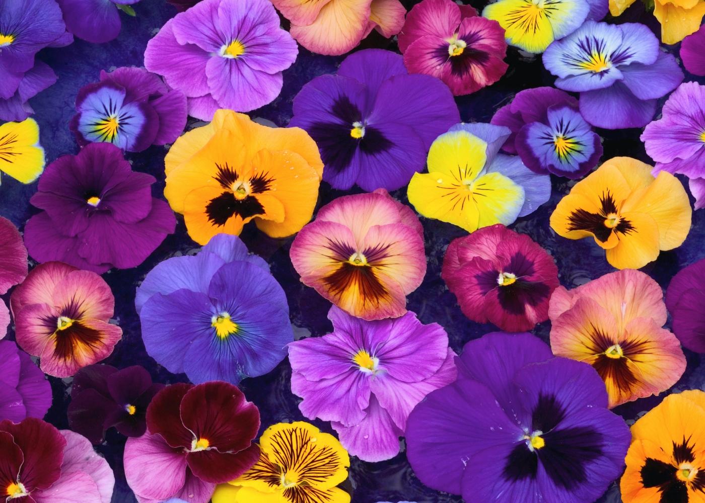 Flores comestíveis: amor-perfeito