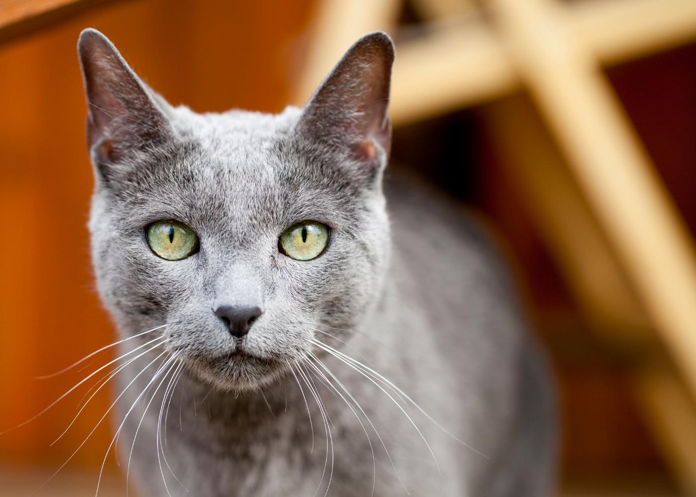 azul russo gato
