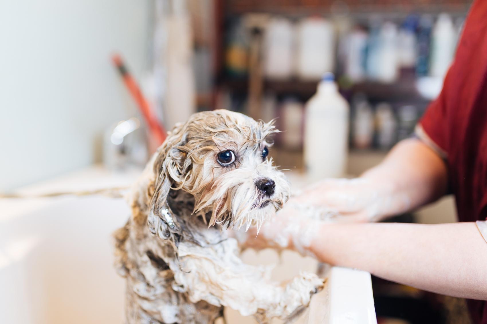 Primeiro banho ao cão: tutora a aplicar champô