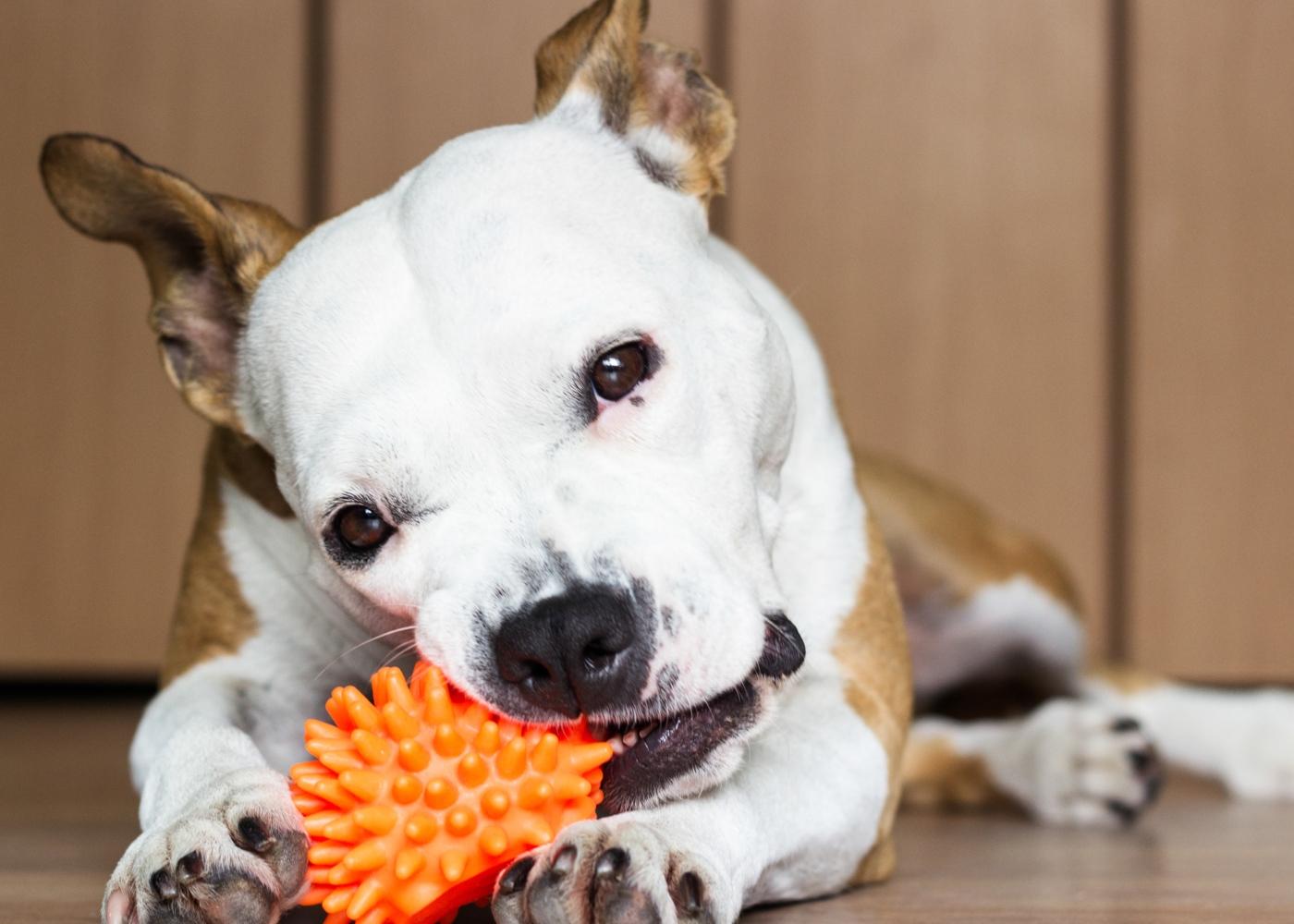 Cão em apartamento a brincar com uma bola