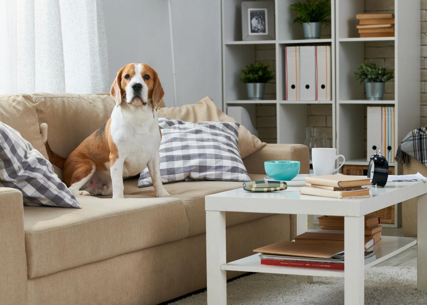 Cão em apartamento sentado no sofá da sala
