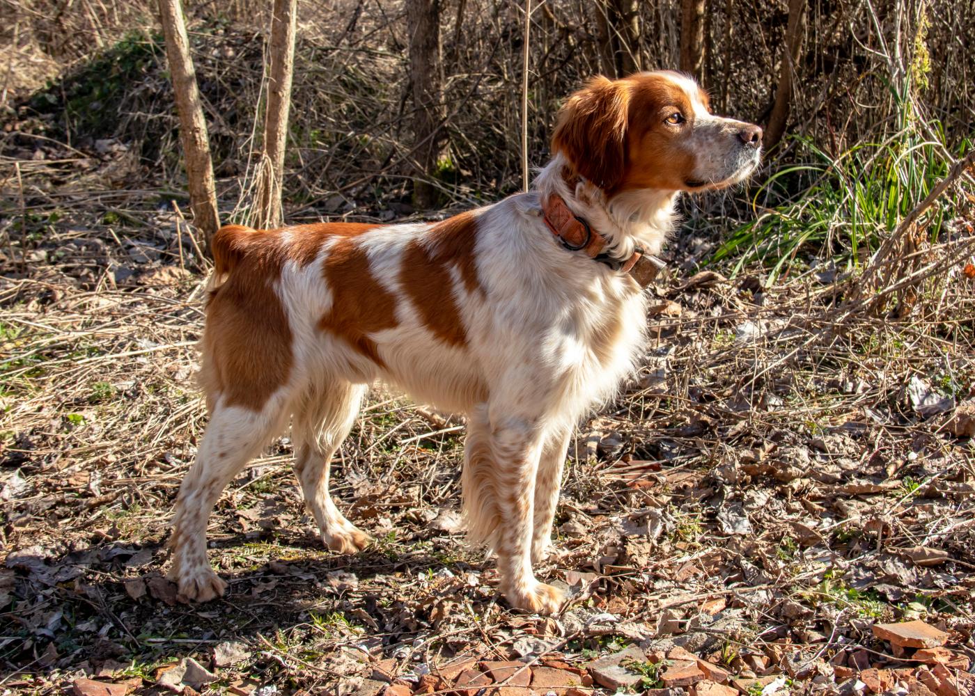 cão épagneul breton no monte a passear