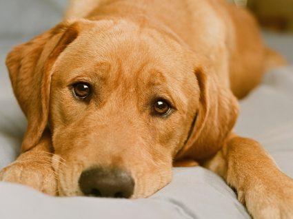 Cão tem a pele vermelha: cão deitado no sofá
