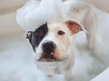 Cuidados a ter quando leva o seu cão à escola ou ao hotel: cão no banho