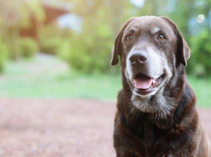 Cuidar de cão sénior: cuidados a ter