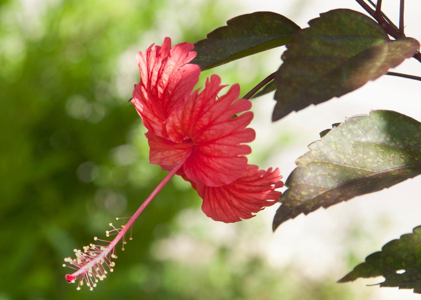 Flores comestíveis: flor de hibisco