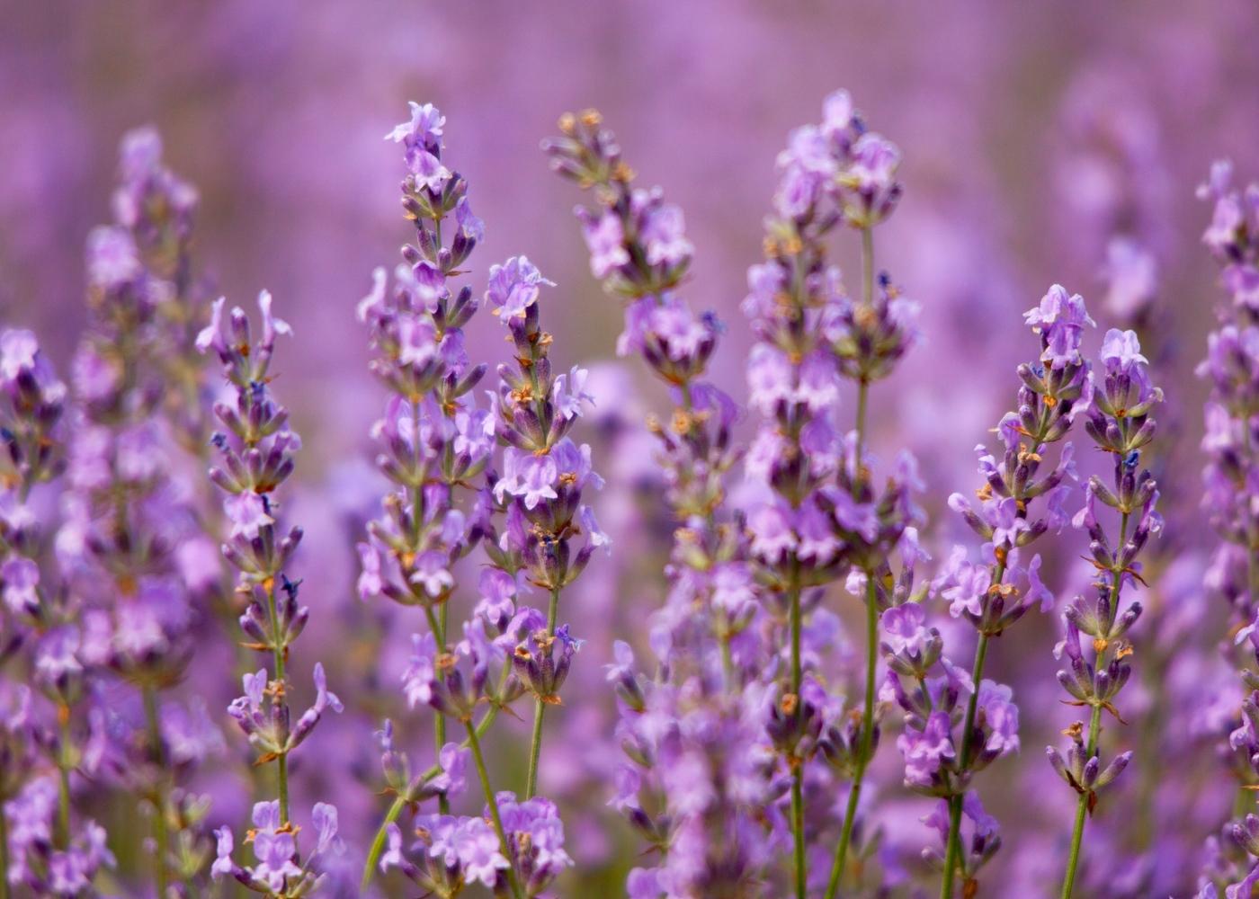 Flores comestíveis: flor de lavanda