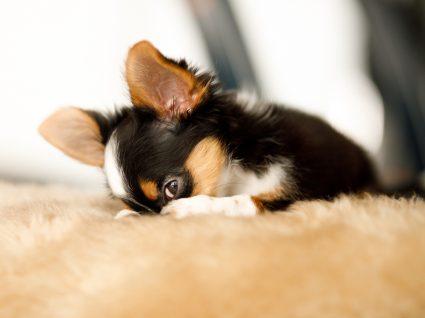 exercícios que pode fazer com o seu cão em casa: brincar às escondidas