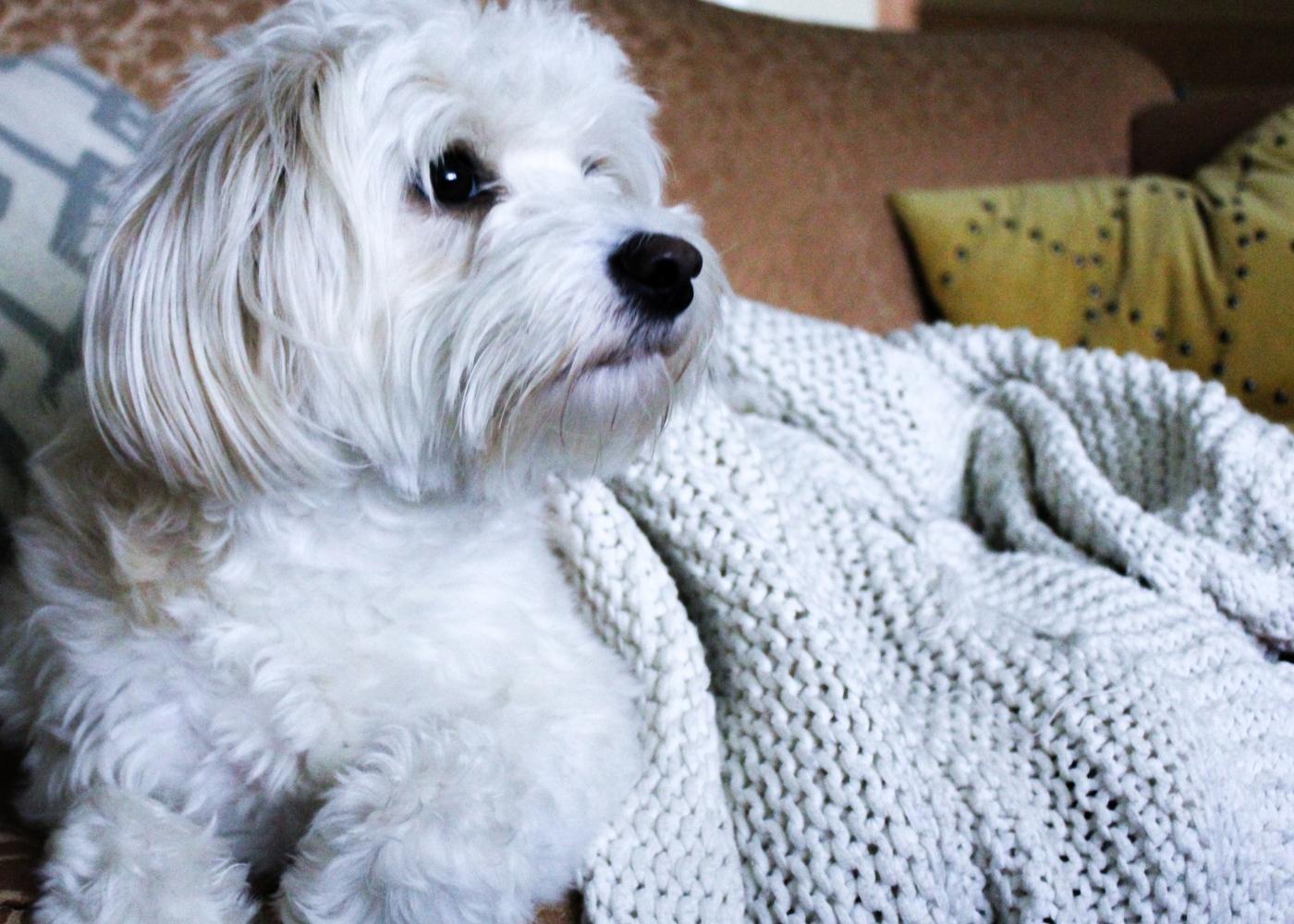 Cães conseguem ver TV: cão no sofá atento ao que está a passar na televisão